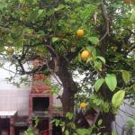 lemon trees in the courtyard of st. pals