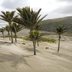 Nikau Palms near Kaihoka Lakes