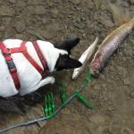 Rat Terrier looking at Trout we caught