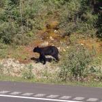 Black Bear beside the road