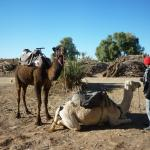 our camels for the desert trip