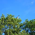 Green Heron sitting at the launch site