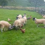 Animaux de Mosedale End Farm - Lake District, Cumbria (GB)