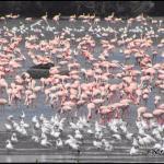 Pink & white brigades