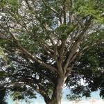 Espectacular Arbol en Jardines de Royal Decameron