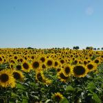 Nearby sunflowers