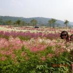距離曹溪溫泉度假村15分鐘車程,新建的大唐花海。2015年9月26日才正式開放,門票RMB100,一整片一整片的LAVENDER ,太陽花,波絲菊、據說完成規劃過千種花卉會進駐, 包括一公里長