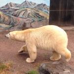 GORGEOUS POLAR BEAR