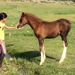 falling in love with Arabian foals