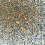 Smooshed insects in hallway carpet