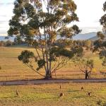 Kangaroos grazing out front