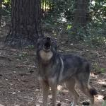 Texas Wolfdog Project
