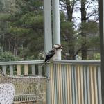 täglicher Besuch auf unserer Veranda, ein Kookaburra
