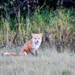 A fox near the lodge