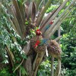 3 Ara's in de boom naast onze cabin