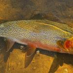 A beautiful Clark Fork Cutthroat trout