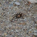 Tarantula Surprise