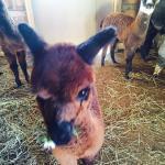 Alpacas Of Breezy Hill Ranch