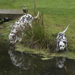Resident Dalmations