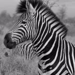 Zebra on the main H-7 road