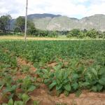 Tobaksplantage Vinales