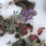 Flowers in Shasta snow