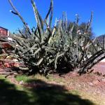 Mehr als 200 Jahre alter Cactus