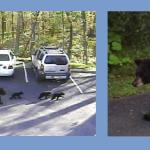 Bear cubs and their mom cutting though our lot