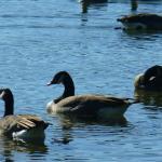 Geese aplenty