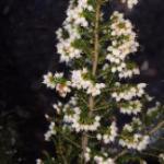 Flower in Pledge Nature Reserve Knysna