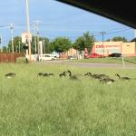 Migrating geese in the lot across from the hotel.