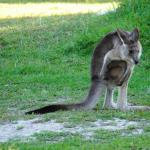 Kangaroo seen in campsite