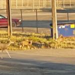 Neighborhood deer wander down the street in the morning