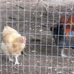 Some of the pretty chickens in the yard