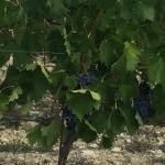 own vineyard's adjacent to property for Castello di Tornano's Classico Chianti