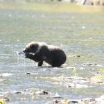 Bear cub with fish