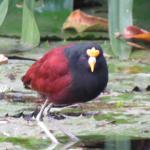 Tri color bird  EBB