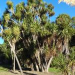 Cabbage trees in Bird Park