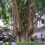 入口にある大きなガジュマルの木
