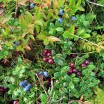 Amazing wild berries!