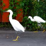 Egrets in the parking lot