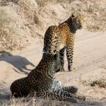 Leopards in the road