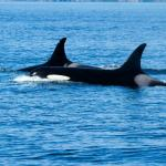 Orcas on Whale Watch Tour