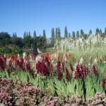 Potager des fleurs  Glaïeuls