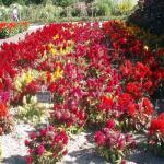 Potager des fleurs Célosies