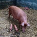 Our Tamworth sow and he latest litter of seven piglets