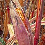 Beautiful purple corn husk!!