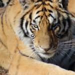 One of the Tiger's in the open enclosure