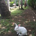 ручной кролик, живущий на территории отеля
