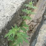 Cannabis plants growing on site, near to the pool area